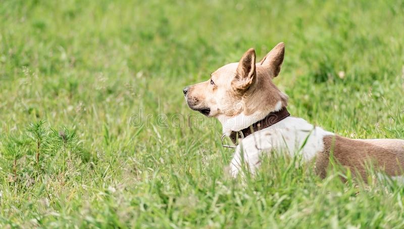 Adorable mixed-breed shepherd dog laying in the grass in the summer day. Cute mixed-breed shepherd dog laying in the grass in the summer day stock photography
