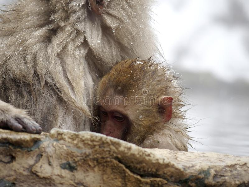Cute baby snow monkey sucking milk from mom inside hot springs while the snow falls in the winter season-Japan. The cute moment of mother and baby snow monkeys royalty free stock photos