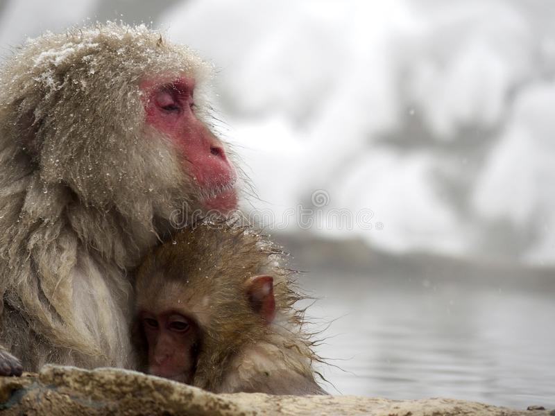 Cute baby snow monkey sucking milk from mom inside hot springs while the snow falls in the winter season-Japan. The cute moment of mother and baby snow monkeys stock photography