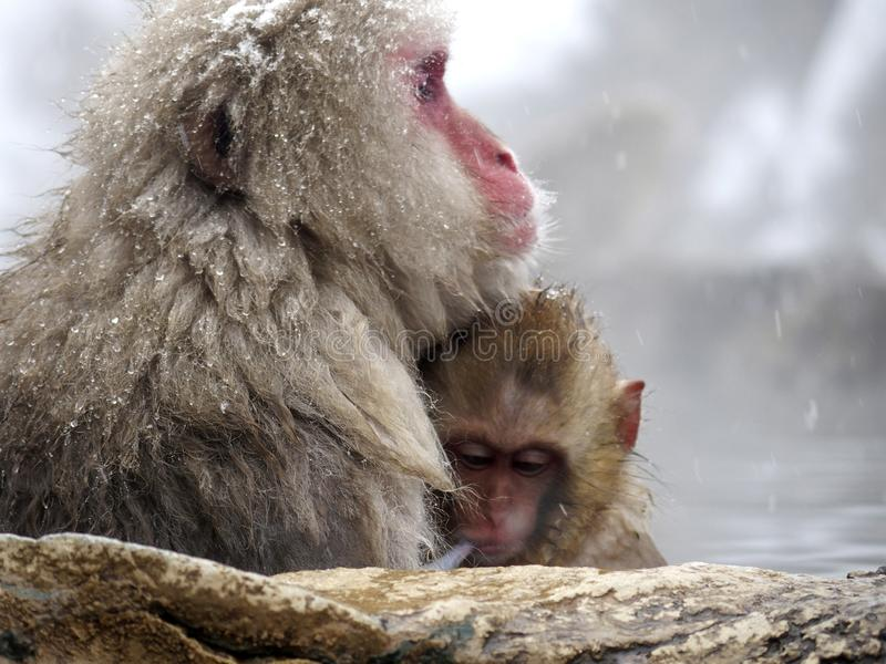 Cute baby snow monkey sucking milk from mom inside hot springs while the snow falls in the winter season-Japan. The cute moment of mother and baby snow monkeys stock photo