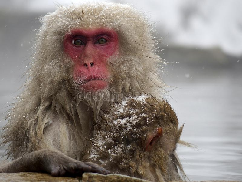 Mother and bay snow monkeys soaking in the inside hot springs while the snow falls in the winter season-Japan. The cute moment of mother and baby snow monkeys royalty free stock photo