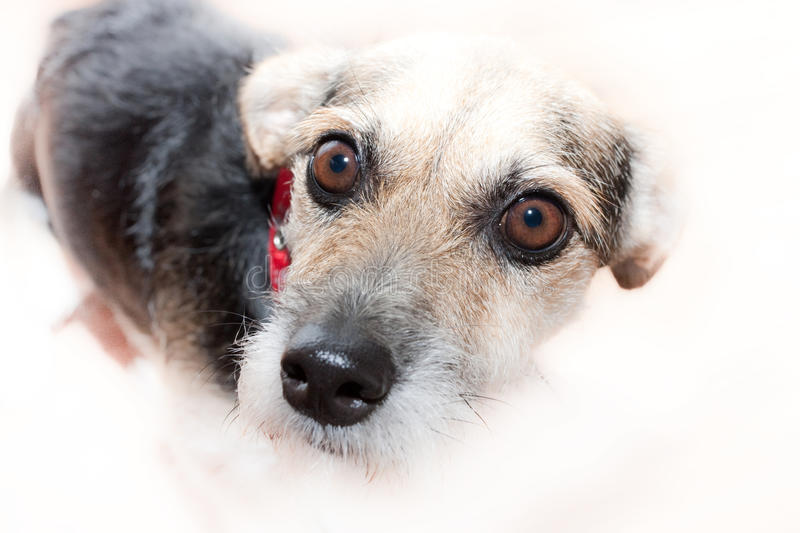 Download Cute Mongrel Dog stock photo. Image of wire, dark, crossbreed - 10975998