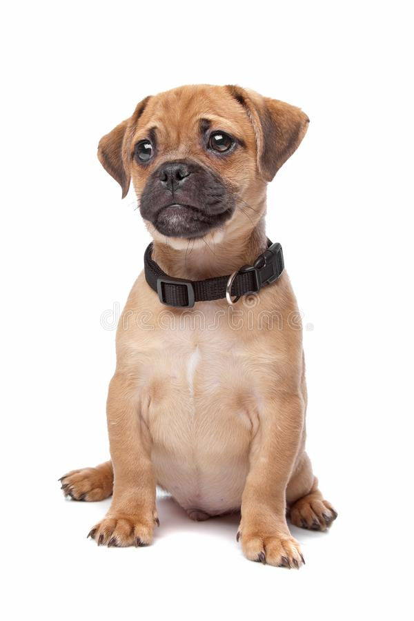 Cute mongrel dog puppy. Cute mixed breed or mongrel dog puppy, half pug and half cavalier kings charles spaniel; white background stock images