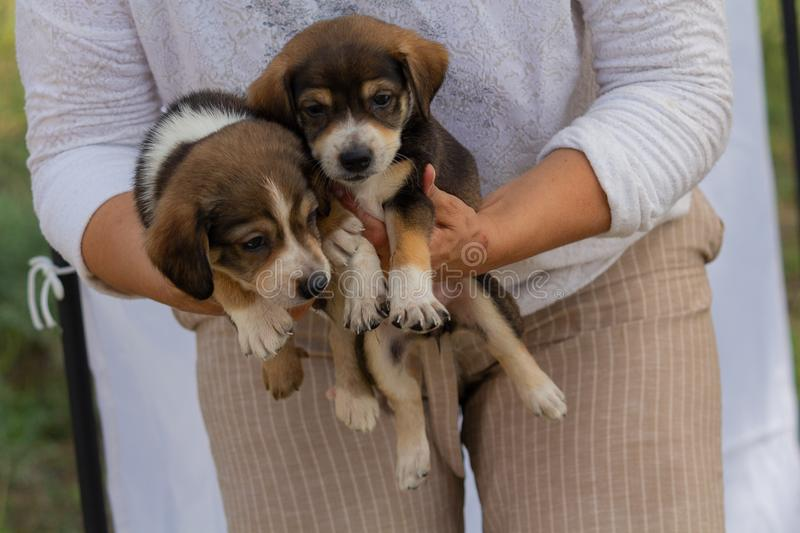 Cute mongrel puppies are volunteer viruses. Dogs royalty free stock image