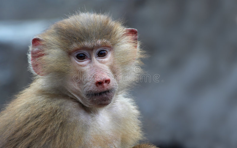 Cute monkey. Looking straight at the camera stock photo