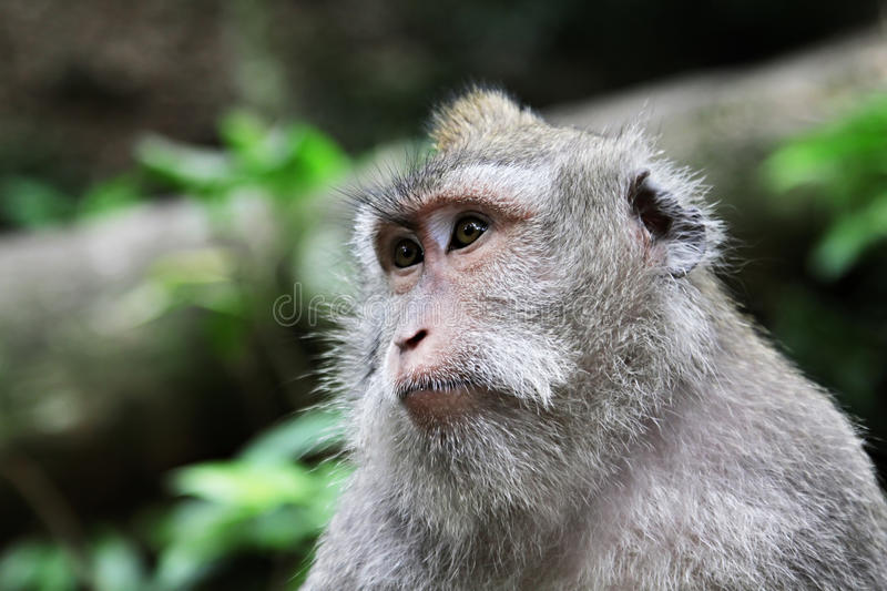 Cute monkey. Sitting in the jungle and looking away stock photography