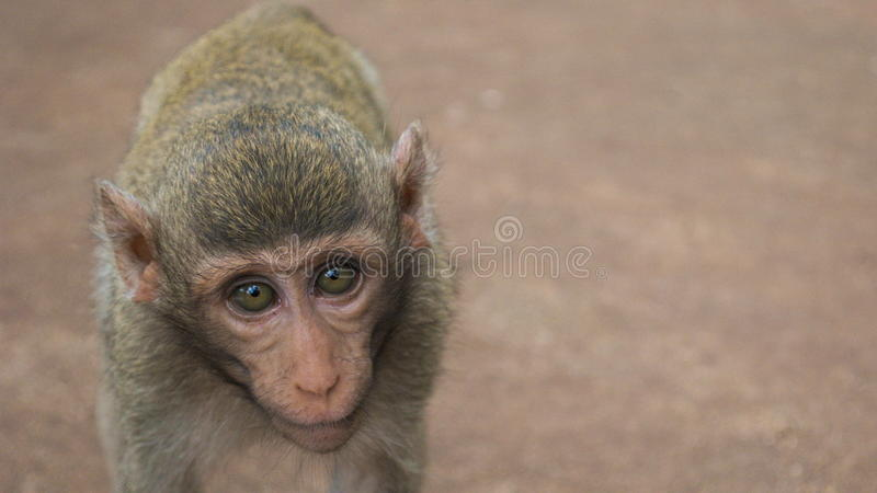 Cute Monkey. Cute baby monkey picture from Thailand stock images