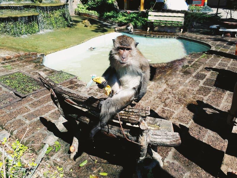 Cute monkey with banana. In Thailand stock photo