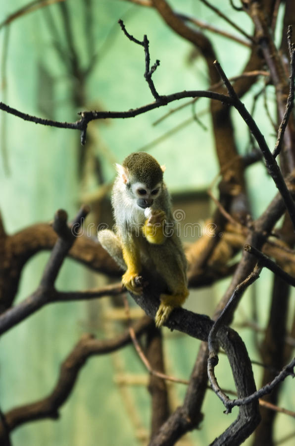 Cute monkey eating royalty free stock photo