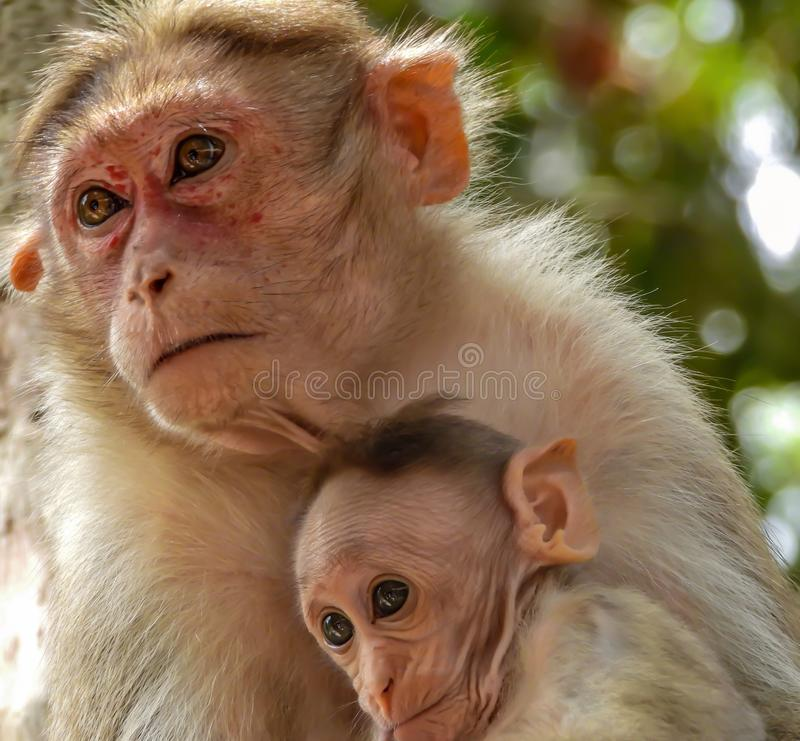 Cute Monkey Family. Closeup shot of cute baby monkey with its mother royalty free stock image
