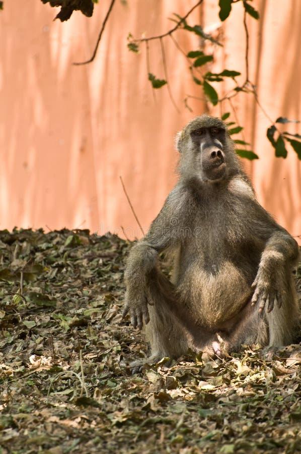 Cute monkey making a funny face. Cute male monkey making a funny face royalty free stock images