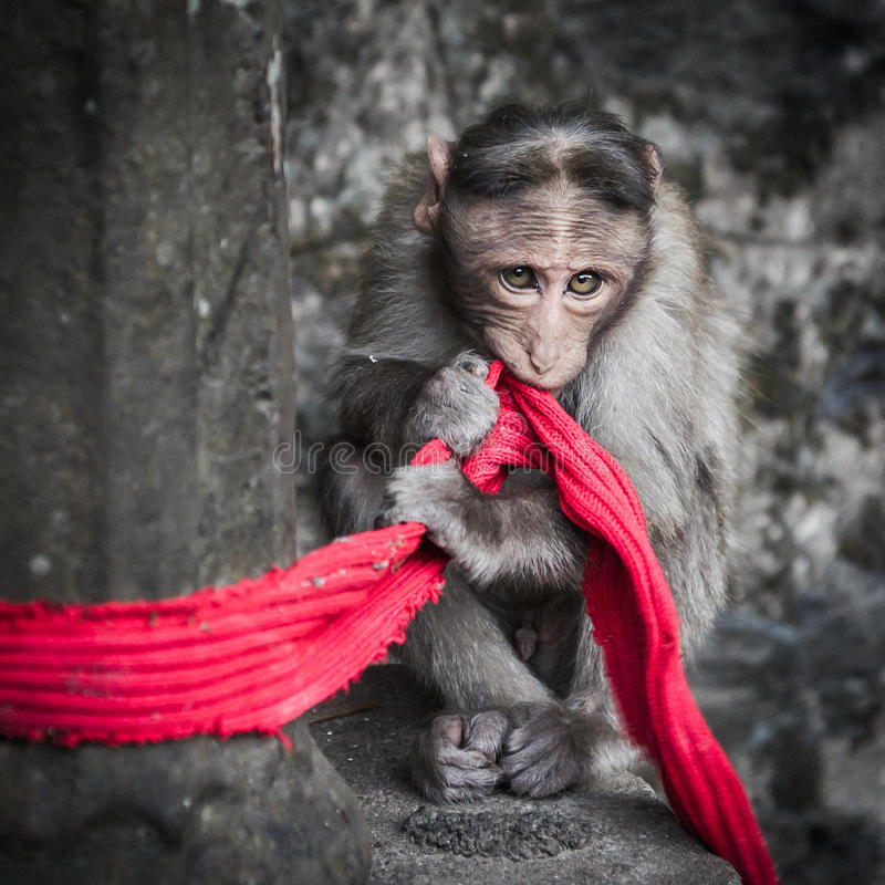 Cute monkey with a red scarf. A cute monkey holding firmly and biting on a worn red scarf in India, Kerala stock photos