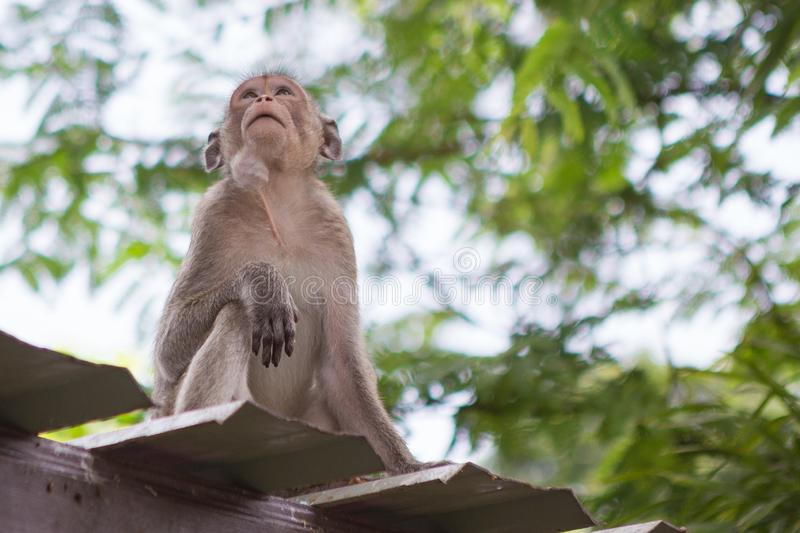 Cute monkey on the roof. With natural background royalty free stock photo