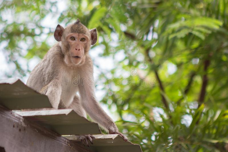 Cute monkey on the roof. With natural background stock photography