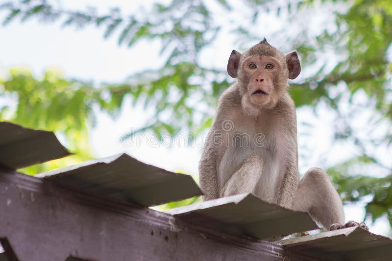 Cute monkey on the roof. With natural background stock images