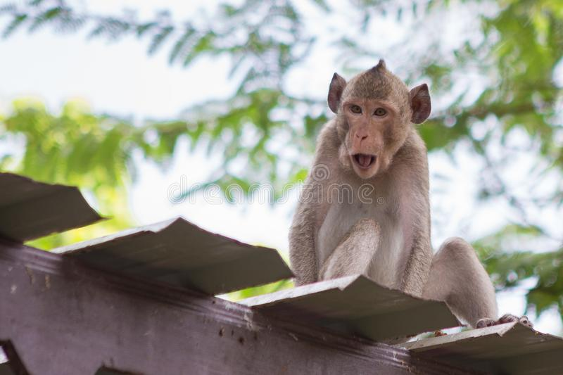 Cute monkey on the roof. With natural background royalty free stock photography