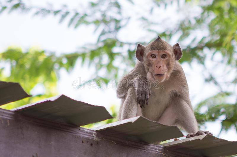 Cute monkey on the roof. With natural background royalty free stock images