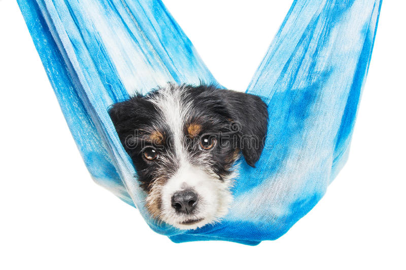 Cute 1 Month Old Wire Haired Jack Russell Mix Puppy Stock Photo ...
