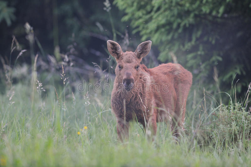 Cute moose calf. Early in the morning royalty free stock image