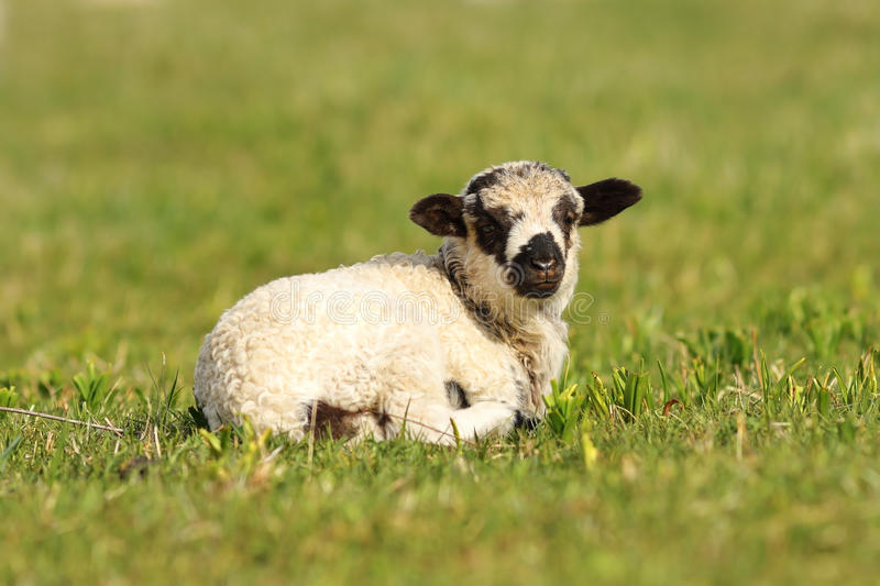 Cute mottled lamb. Standing on green grass lawn stock images