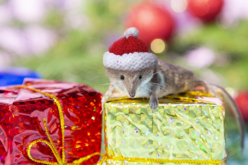 Cute mouse in red Christmas hat on gold red box gifts on blurred New year background. Rat is symbol of New year 2020 according to stock photography