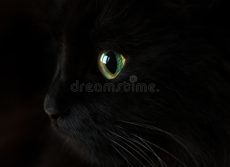 Cute muzzle of a black cat stock photography