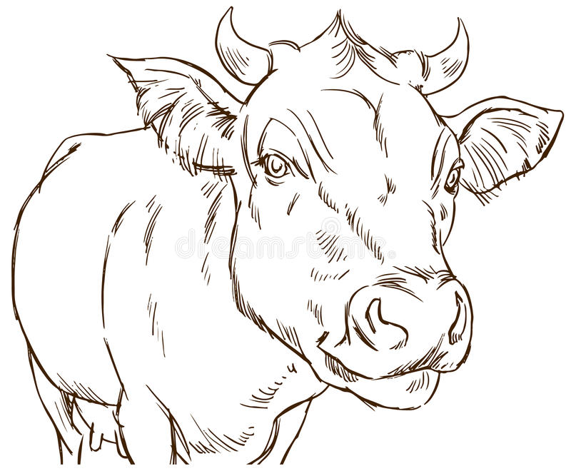 Line Drawing Cow : Cute naturalistic cow stock vector illustration of draw