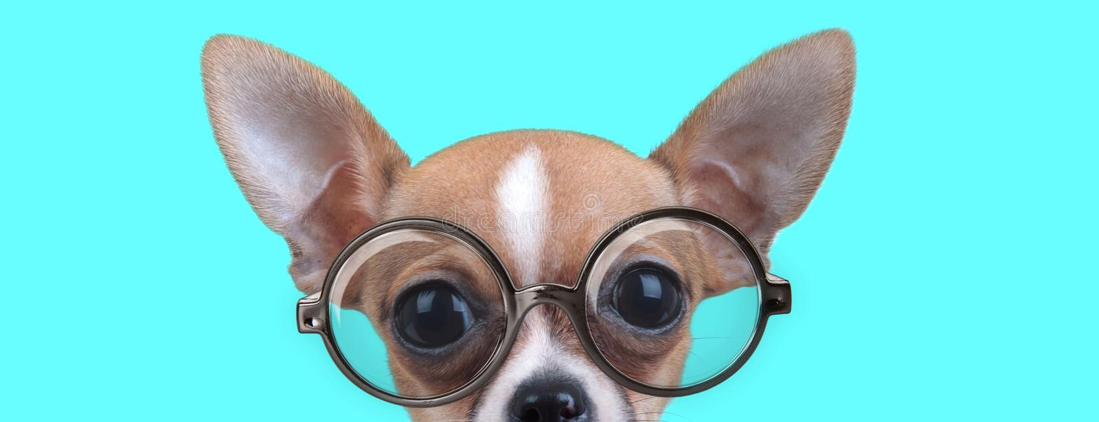 Cute nerdy Chiwawa dog with half of face hidden stock photo