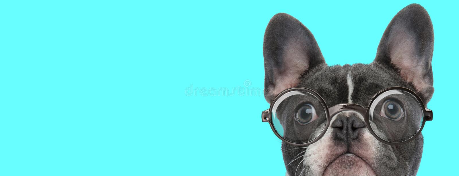 Cute nerdy French Bulldog dog with eyeglasses is looking up stock photo