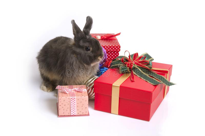 Cute netherland dwarf rabbit with gift boxes. royalty free stock photo