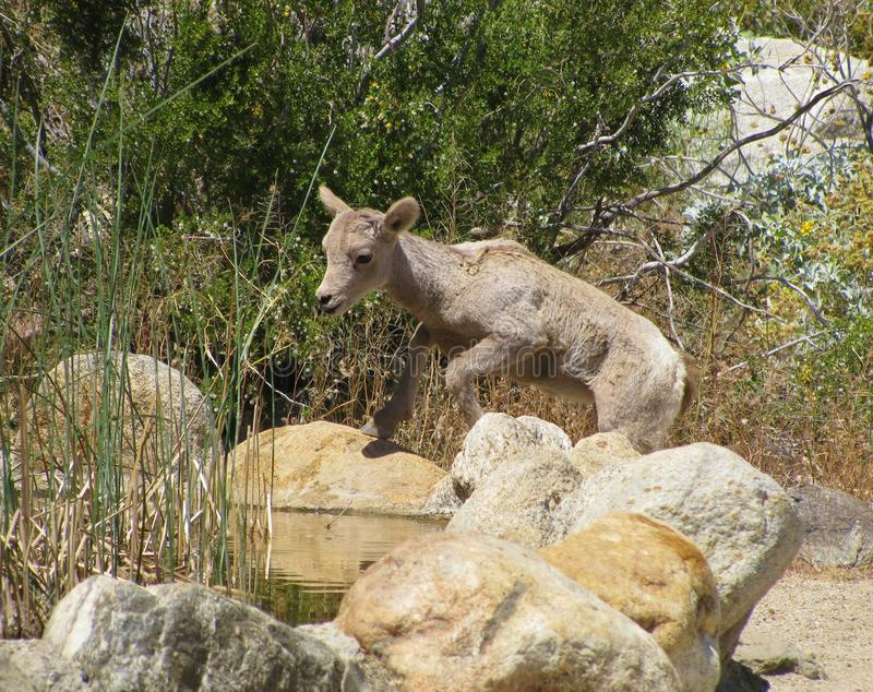 Cute young mountain sheep lamb at drinking pool, Anza Borrego Desert State Park royalty free stock image