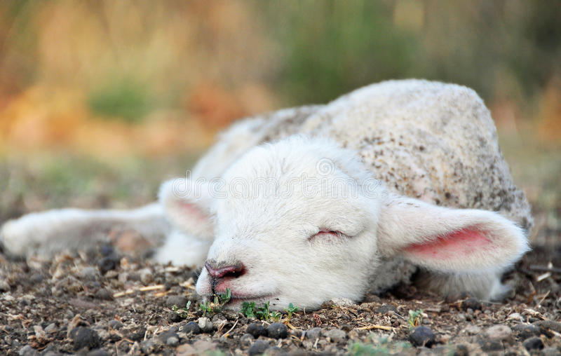 Cute newborn baby lamb sleeping in field on country farm. A closeup portrait of a newly born baby lamb very contented and sleeping in a paddock with the mother stock photo