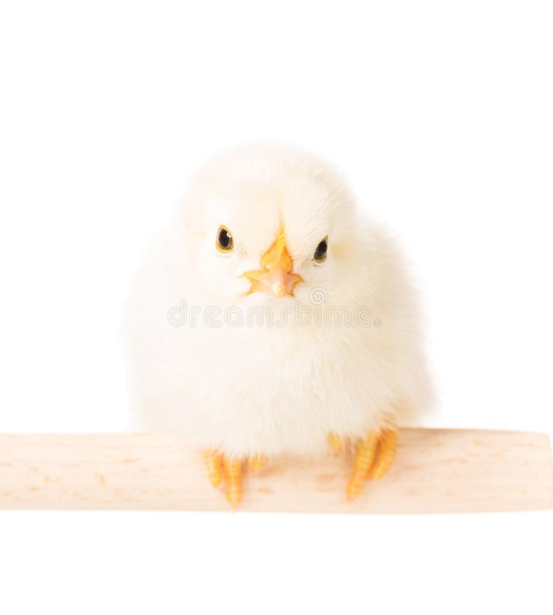 Cute newborn chicken stock images