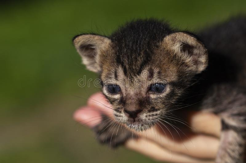 Cute newborn kitten on woman hands. Little kitty with blue eyes and small ears. Curious cat baby on hands. Domestic pet nursing. Newborn kitten health and royalty free stock image