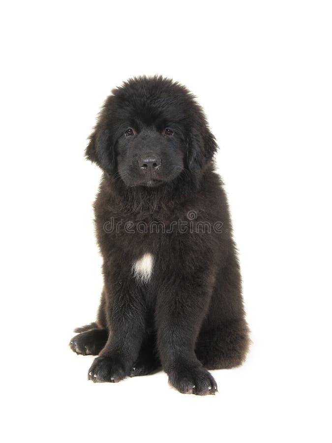 Cute newfoundland puppy dog stock image