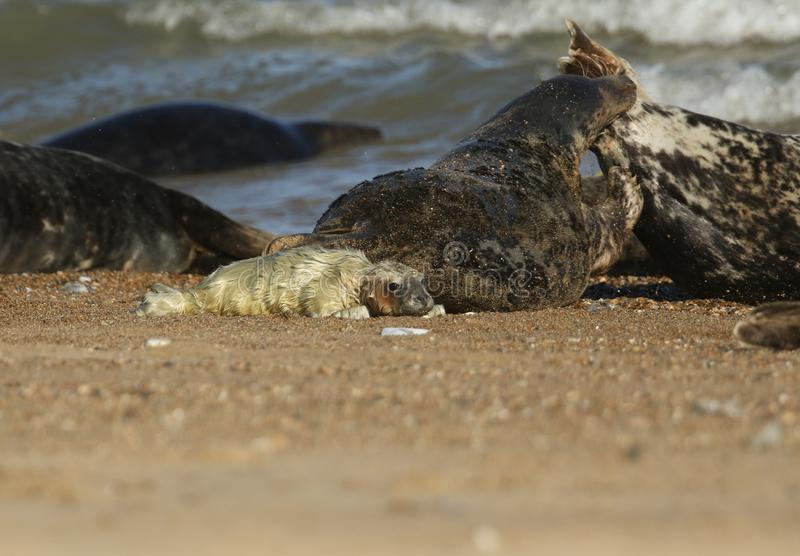A cute newly born Grey Seal Pup, Halichoerus grypus, lying on the beach. Its mother can be seen in the background biting a seal. A cute newly born Grey Seal Pup royalty free stock image