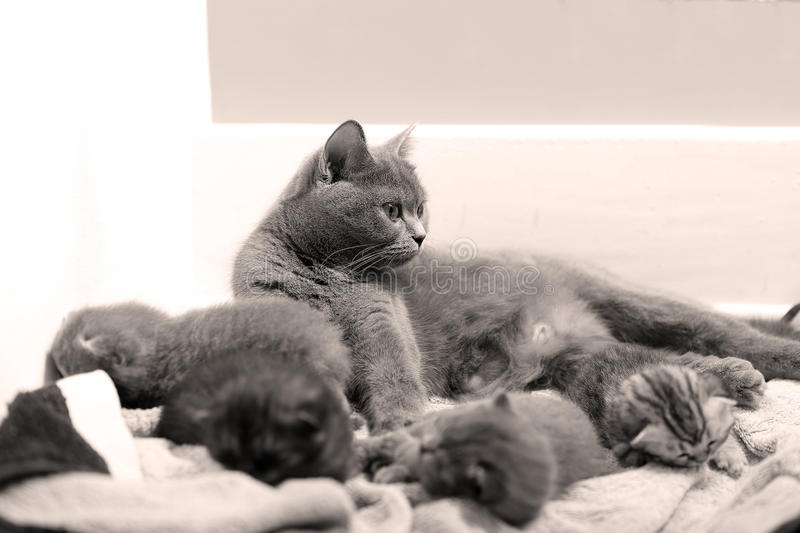 Cute newly born kittens. Playing with their mother royalty free stock photo