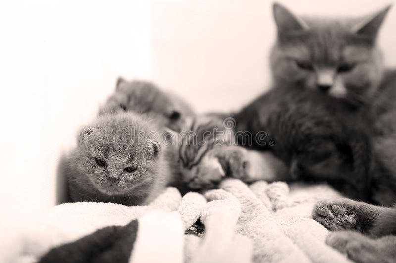 Cute newly born kittens. Playing with their mother royalty free stock images