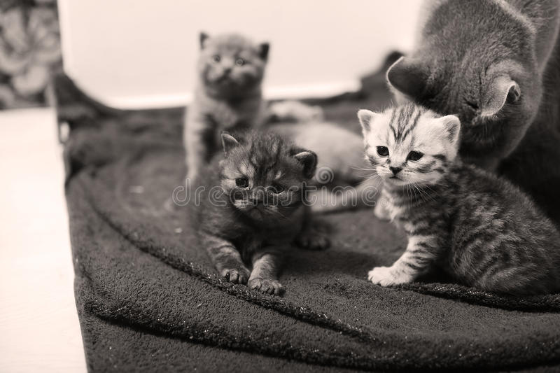 Cute newly born kittens. Playing with their mother royalty free stock photography