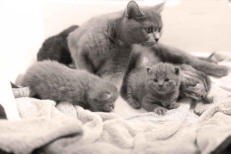 Cute newly born kittens. Playing with their mother stock image