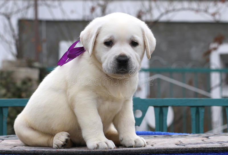 Cute nice little labrador puppy on a blue background stock photography