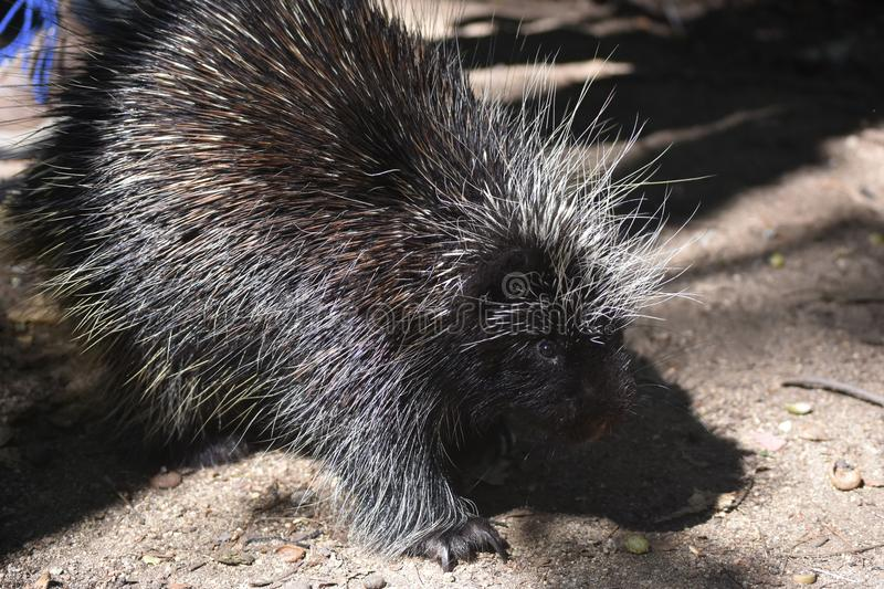 Prickly black porcupine with white tipped quills. Cute north american porcupine with white tipped quills stock image