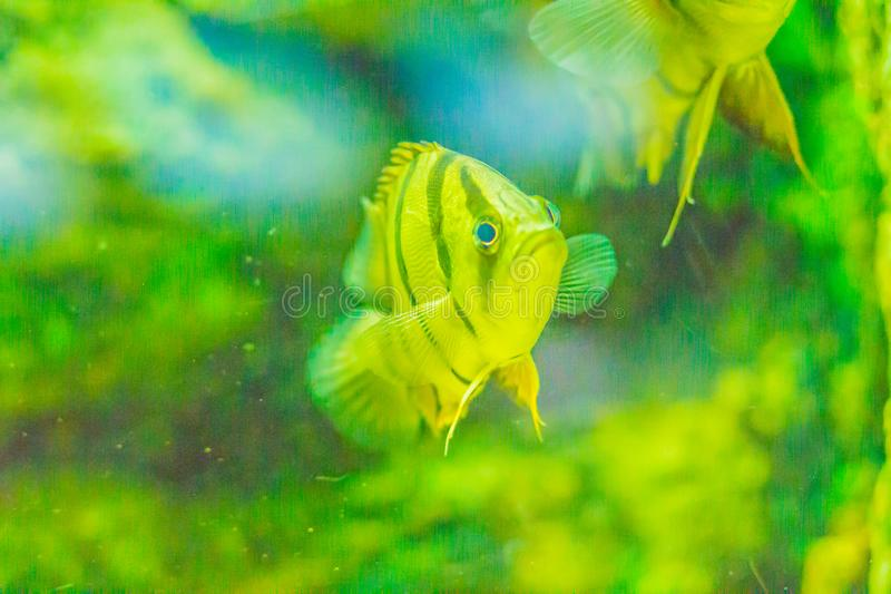 Cute Northeastern siamese tigerfish in aquarium. The Siamese tigerfish (Datnioides pulcher) is a critically endangered Asian fish royalty free stock images
