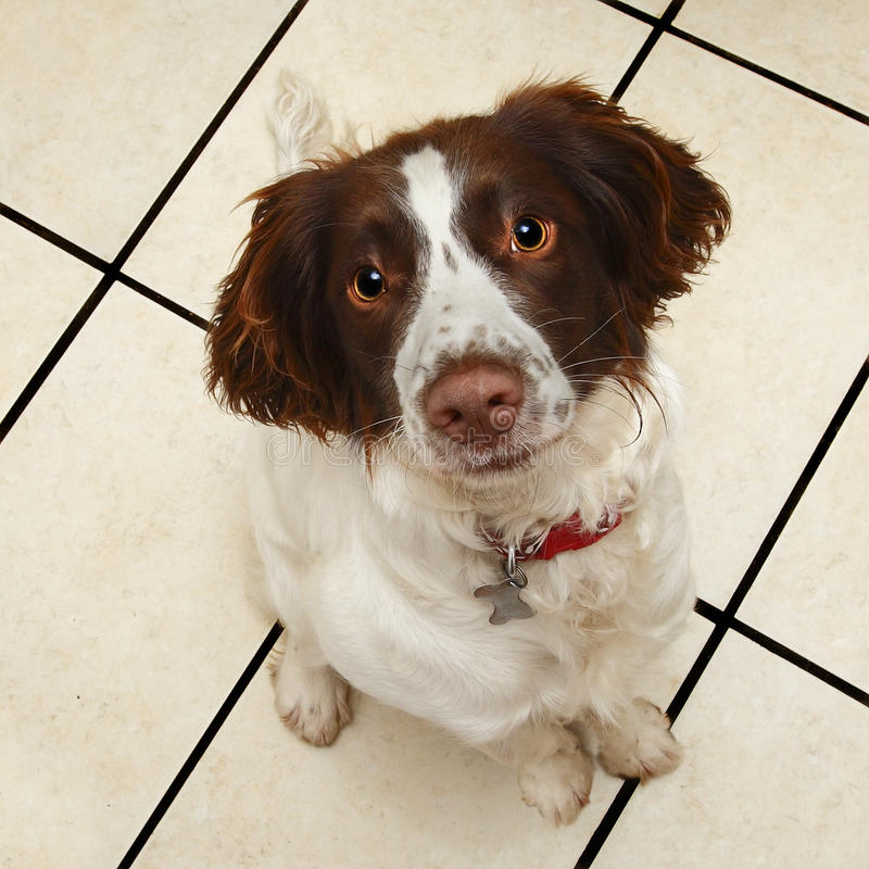 Cute obedient sitting dog. Cute obedient sitting Springer Spaniel puppy dog at 8 months old stock images