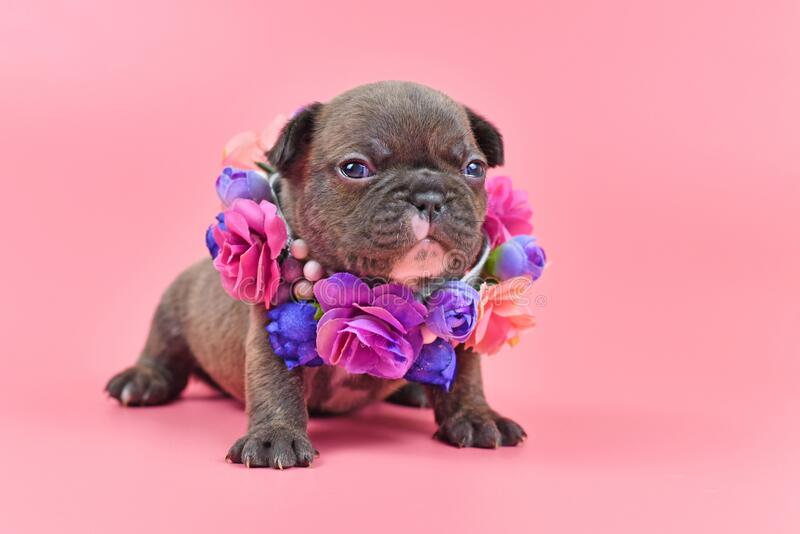 Cute old chocolate brindle colored French Bulldog dog puppy with blue eyes and colorful flower color on pink background. Cute 3 weeks old chocolate brindle royalty free stock photos