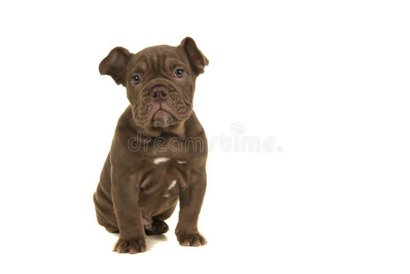 Cute old Engelsk bulldog som tittar på kameran som sitter isolerad på vit bakgrund royaltyfri fotografi