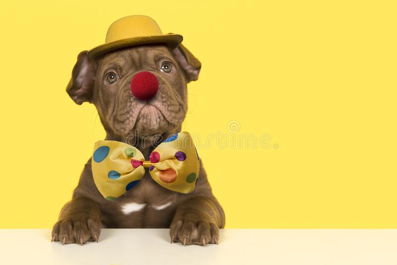 Cute old english bulldog puppy dressep up as a clown with bow, hat and a red nose on a yellow background. A cute old english bulldog puppy dressep up as a clown stock photography