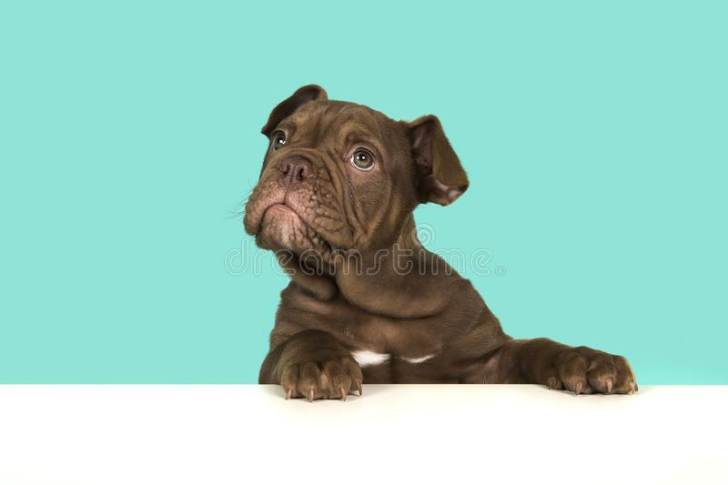 Cute old english bulldog puppy with paws on a white table looking up on a blue background royalty free stock photos