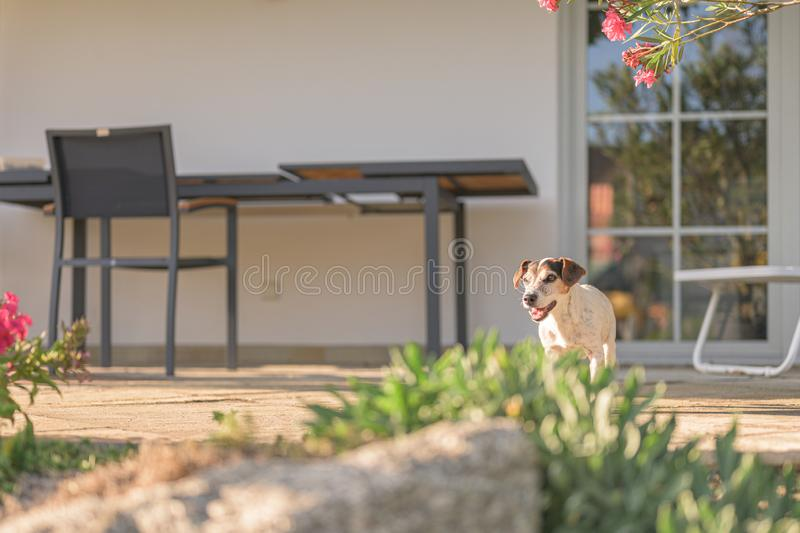 Cute old little Jack Russell Terrier dog is at home on the terrace. Doggy is 13 years old. Old little Jack Russell Terrier dog is at home on the terrace. Doggy royalty free stock photos