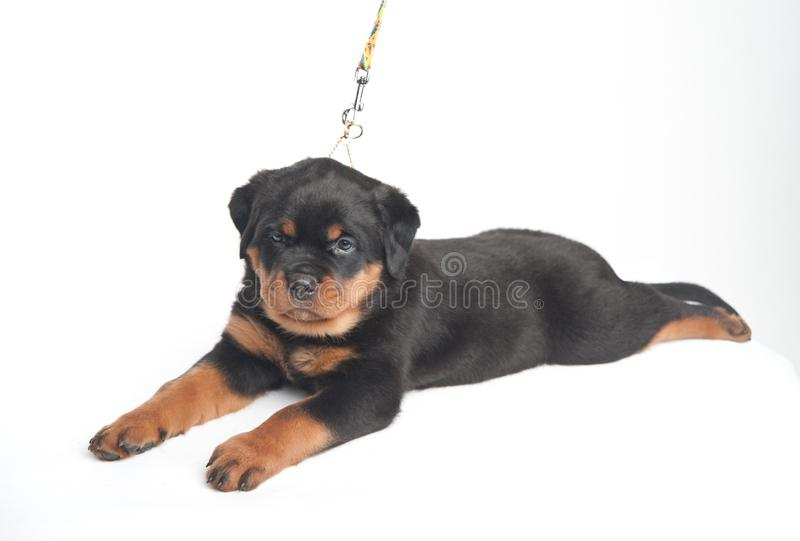 Cute one rottweiler puppy in a studio on a white background stock images
